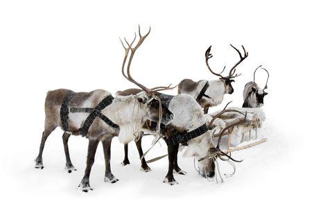 reindeer: Cuatro renos stand que eran los arneses en invierno.
