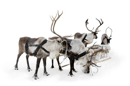 Four reindeers stand to harnesses in winter. Stock Photo