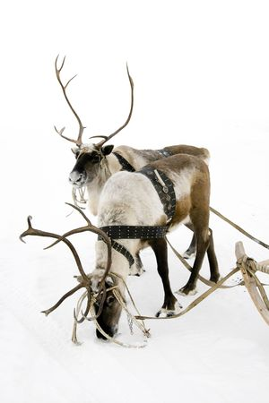 Two reindeers stand to harnesses in winter.