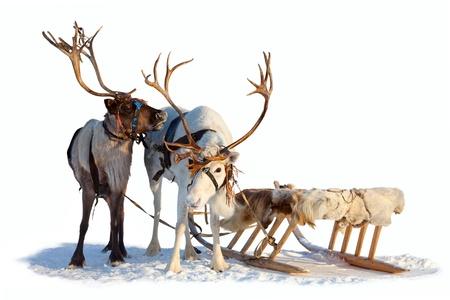 Twee noordelijke herten zijn in het tuig op witte achtergrond Stockfoto