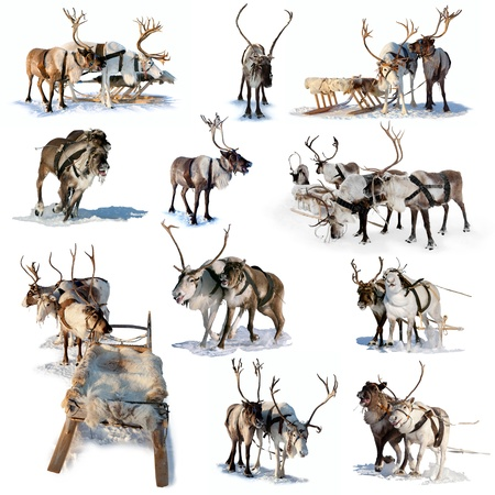 Northern deer are in harness on white background  Stock Photo