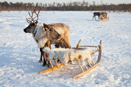 Reindeers are in harness during of winter day  photo