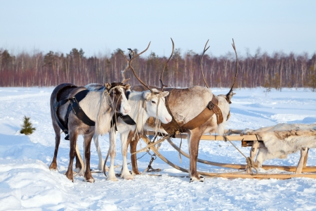 Northern deer are in harness on snow Stock Photo - 15449801
