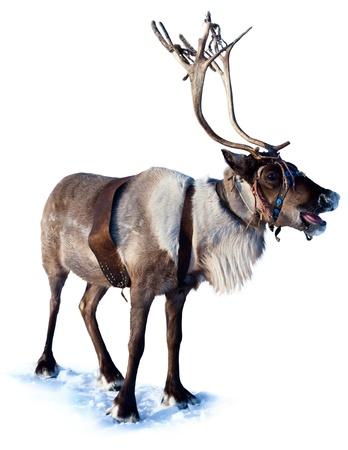reindeer: Ciervo del Norte son el arn�s en el fondo blanco