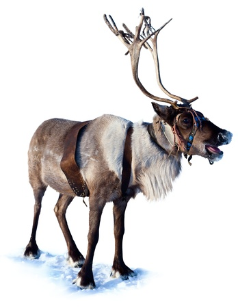Northern deer are in harness on white background  版權商用圖片