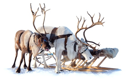 Reindeers are in harness on the white background  Stock Photo