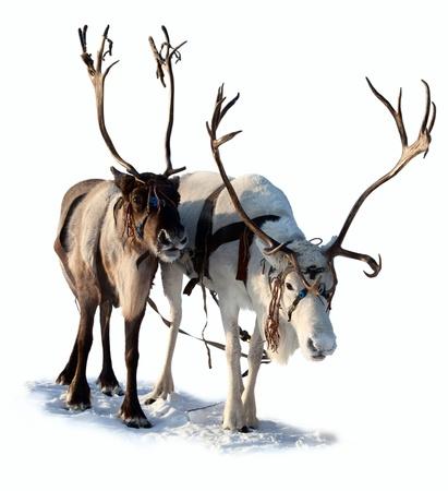laponie: Cerf du Nord sont dans le harnais sur fond blanc Banque d'images