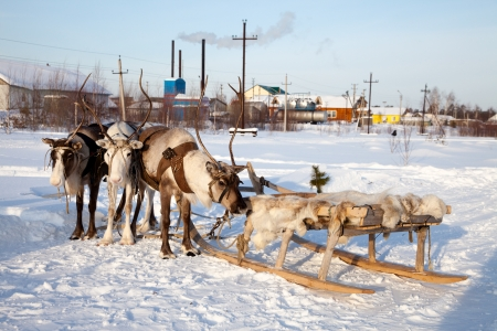 Northern deer are in harness on snow in winter on background countryside  photo