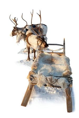 Drie noordelijke herten zijn in het tuig op een witte achtergrond