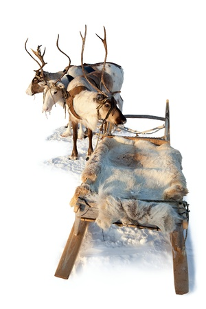 Three northern deer are in harness on white background  Stock Photo