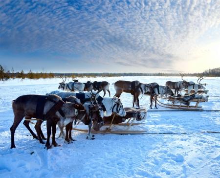 Noord-herten zijn in het tuig op sneeuw