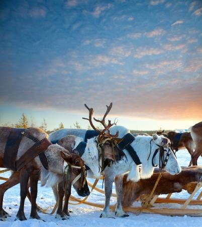 reno: Los renos est�n en el arn�s durante la puesta del sol Foto de archivo