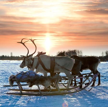 Финляндия: Северные олени в упряжке во время заката Фото со стока