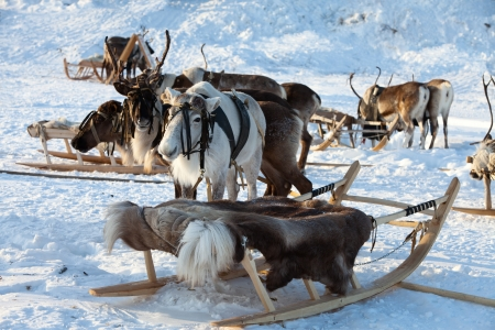 lapland: Reindeers are in harness during of winter day
