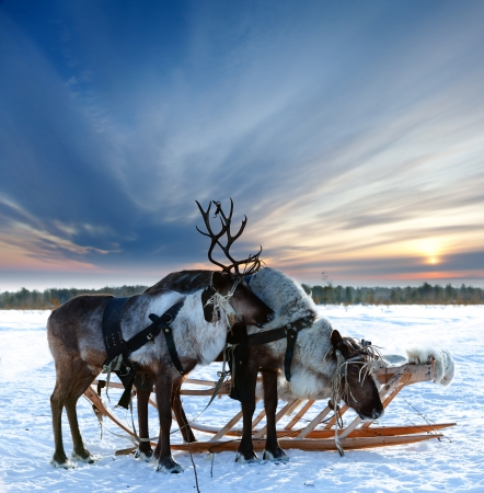 reindeer christmas: Los renos est�n en el arn�s durante la puesta del sol Foto de archivo