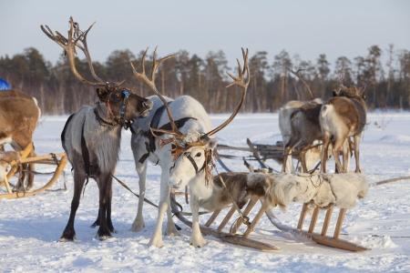 Rendieren zijn in het tuig tijdens de winterse dag Stockfoto