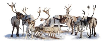 lapland: Six northern deer are in harness on white background
