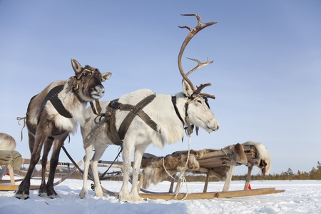 Reindeers are in harness during of winter day. Stock Photo