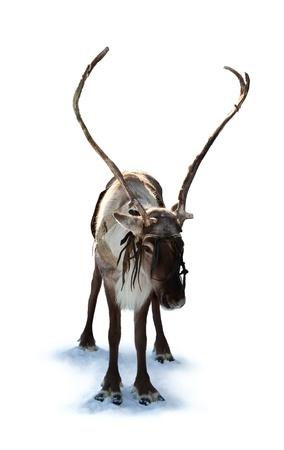 hooves: Northern deer on white background.