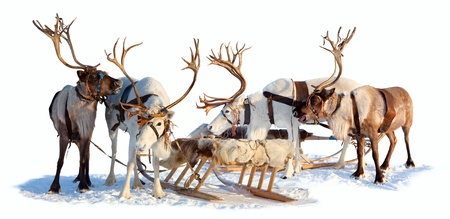 Four northern deer are in harness on white background.