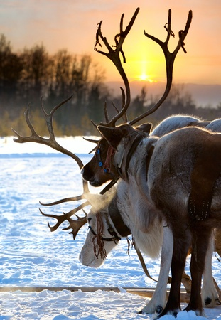Northern deer are in harness on snow on sunset background.