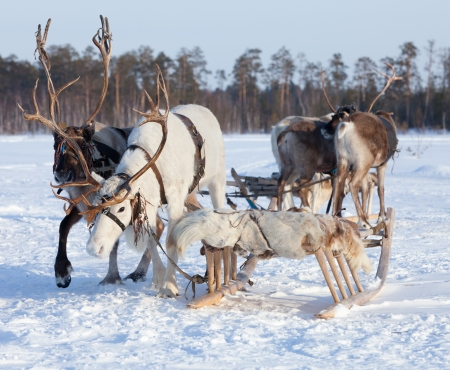 huge antlers: Reindeers are in harness during of winter day