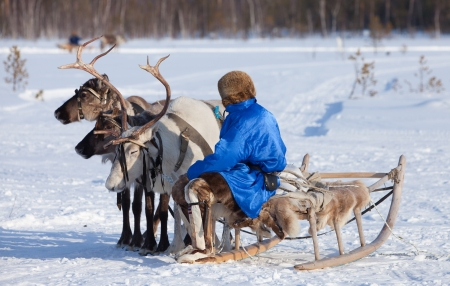 lapland: Reindeer are in harness during on sundown background  Shepherd sitting on sledges  Stock Photo