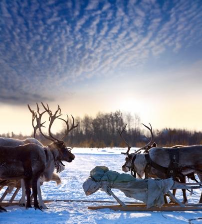 Rendieren zijn in het tuig tijdens op zonsondergang achtergrond. Stockfoto