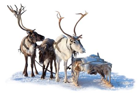 Drie noordelijke herten zijn in het tuig op een witte achtergrond.