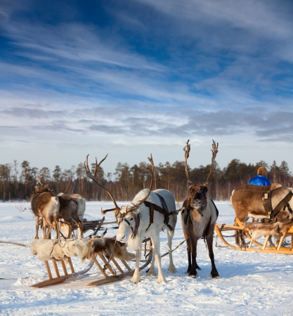 Reindeer are harnessed in sledge and they are on snow during of winter day. Reindeer safari is beginning now.