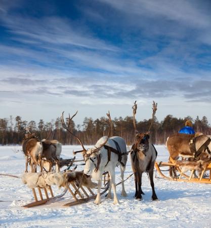 Rendier worden ingezet in slee en ze zijn op sneeuw tijdens de winter dag. Rendier safari begint nu. Stockfoto