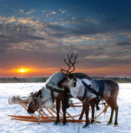 reindeer christmas: Los renos est?n en el arn?s del d?a durante el invierno