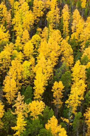 scenic view: Autumn in Larch tree forest, aerial view