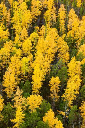 tree  pine: Oto�o en el bosque del �rbol de alerce, vista a�rea