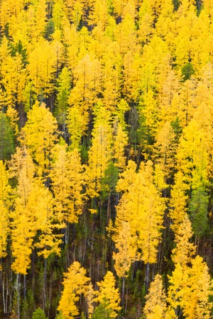 larch tree: Autumn in Larch tree forest, aerial view