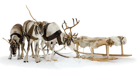 Reindeers are standing in harness during of winter day. Reklamní fotografie