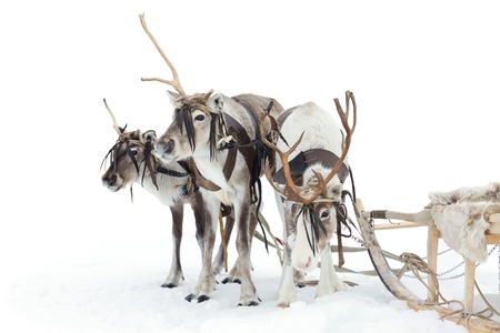 winter finland: Reindeers are standing in harness during of winter day. Stock Photo