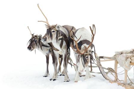 reindeer: Renos están de pie, en la instalación durante el día de invierno. Foto de archivo