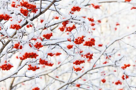 rowan tree: Red Rowan tree are covered by hoar-frost and snow at frosty Winter day.