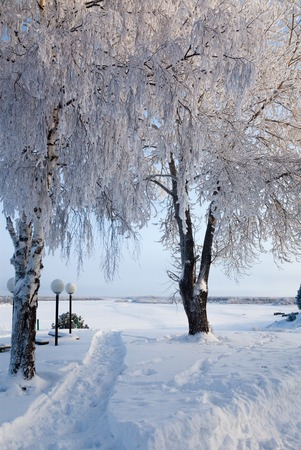 snowbanks: Birches in hoar-frost on the coast near north river in a frosty sunny day in winter.