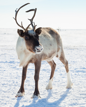 Reindeer in winter tundra