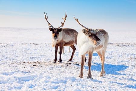 Reindeer in winter tundra Reklamní fotografie - 100754851