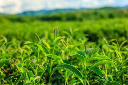 Il t� verde bocciolo e foglie fresche