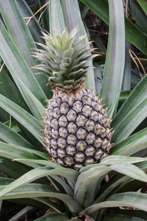 Fresh Pineapple in farm, Pineapple, tropical fruit of the east Thailand photo
