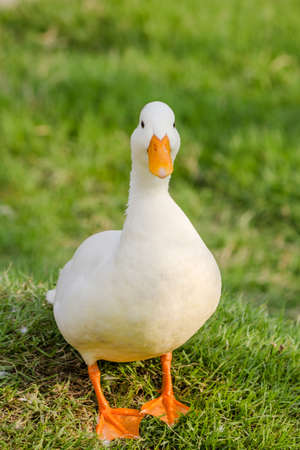 Close up of walking white duck