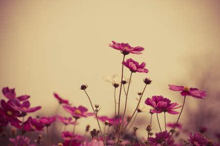 Cosmos fiori in fioritura con il tramonto tono d'epoca