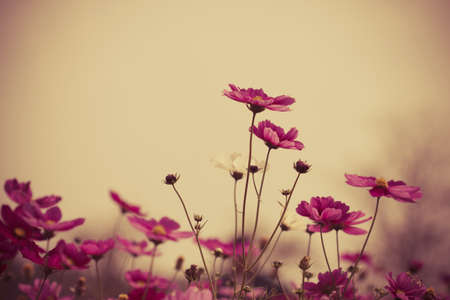 Cosmos flowers in blooming with sunset vintage tone