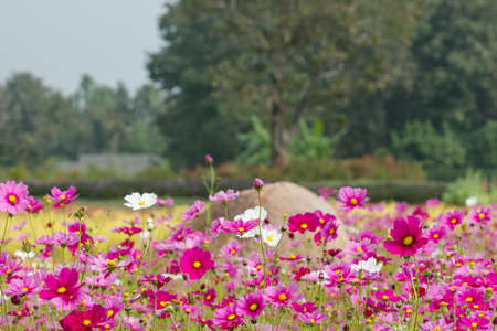 Cosmos flower in field photo