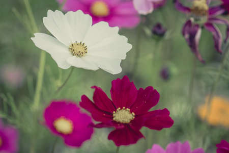 Cosmos flowers  vintage tone  photo