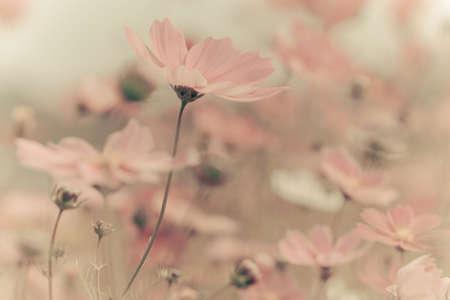 Vintage Cosmos flowers